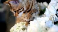 Bengal Cat Walking On Tree video