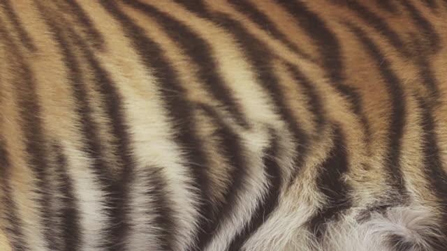 bengal tiger breathe video