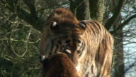 Bengal Tiger - couple life video