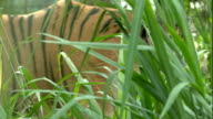 Bengal Tiger in Cage Walking in Tall Grass video