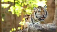 Bengal Tiger in forest show head video