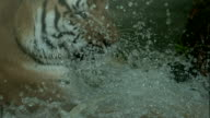 Bengal Tiger Playing in Water in Slow Motion video