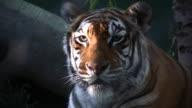 Bengal Tiger video