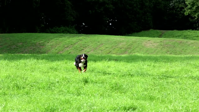 Bernese Mountain Dog running video