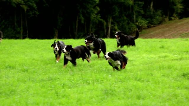 Bernese Mountain Dogs running video