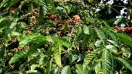 Berries coffee branch video