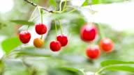 Berries of ripe cherries on the branch. video
