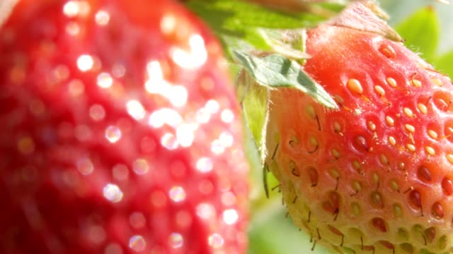 Berries of strawberries grow on a bed. Close-up. The concept of growing a healthy meal video