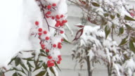 Berry bush swaying in the wind, with light snowfall video