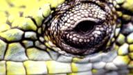Berthold's Bush Anole (Polychrus gutturosus spurrelli) video