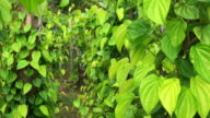 Betel Leaves At Plantation video
