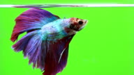 Betta fish, siamese fighting fishgreen screen background video