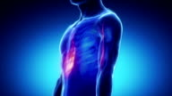 Biceps brachii muscle - zoom in video