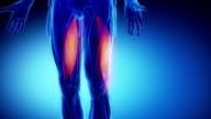 biceps femoris - muscular anatomy in detail video