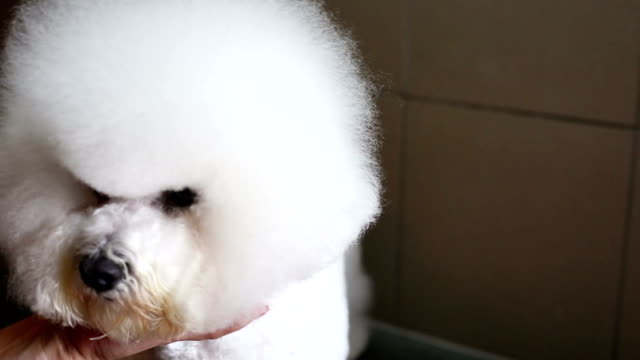 Bichon frise grooming head video