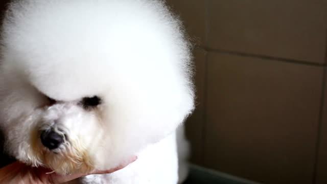 Bichon frise grooming head video