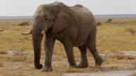 big african elephants on Etosha national park video