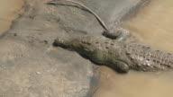Big american crocodile video