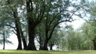 big and tall pine trees in Naiyang park video