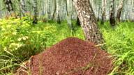 Big anthill in birch forest lockdown video