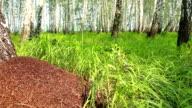 Big anthill in birch forest panning video