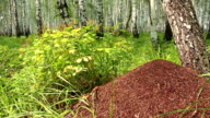 Big anthill in white birch forest panning video