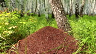 Big anthill in white birch forest slow panning video