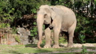 Big asian elephant in the zoo video