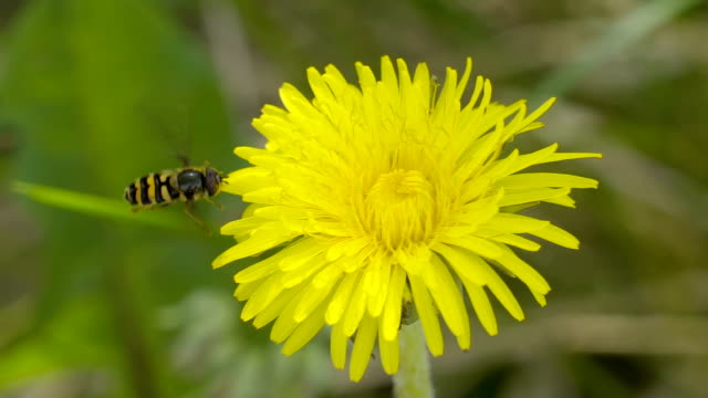 A big bee approaching the yellow dandelion video