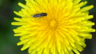 A big bee on top of a dandelion flower video