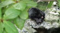 A big black bear. video