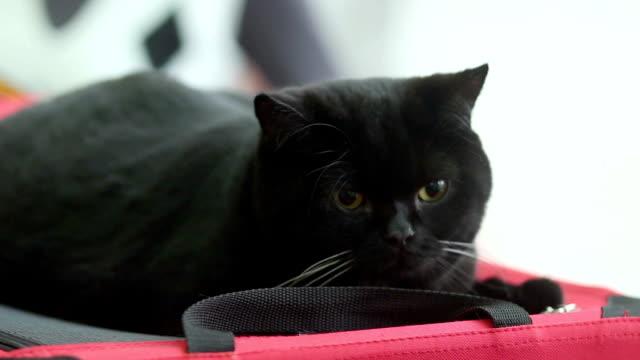 Big black lazy cat lies video