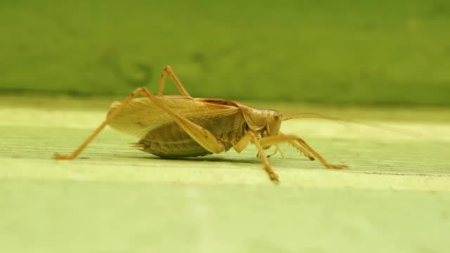 Big bright green grasshopper at a building wall video