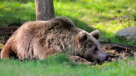 Big brown bear rests in the forest video