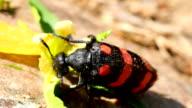 Big bug eats. Macro video