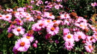 big bush of beautiful and bright red asters video