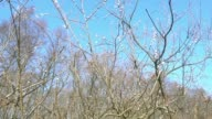 A big bush of blooming catkins. video