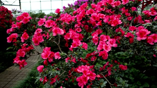 Big Bush of Pink Azalea Flowers About Stone Path in Greenhouse video