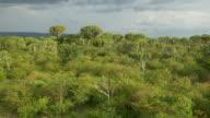 AERIAL: Big cactus trees in Africa video
