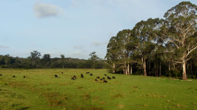 AERIAL: Big cattle of black cows grazing on big green grass pasture field video