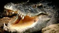 Big Crocodile Opens Mouth video