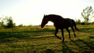 CLOSE UP: Big dark brown horse pasturing and running on meadow field video