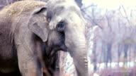 Big elephant. video