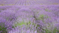 Big field with the blossoming lavender in summer day video