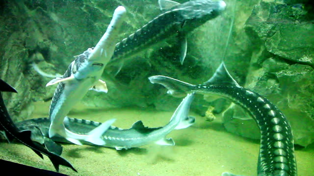 Big fishes - sturgeons video