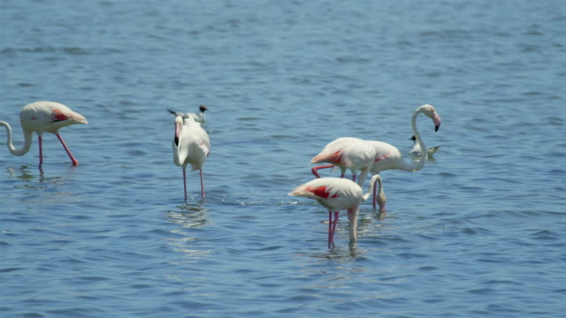 Big flock of flamingos pasturing in the water video