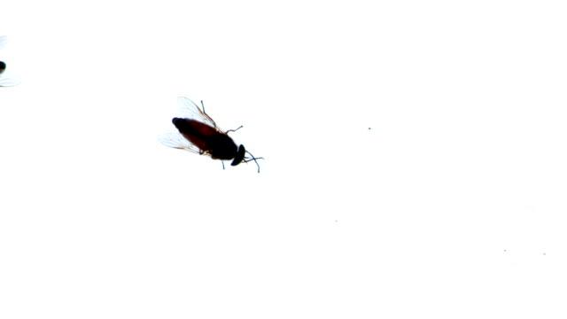 Big fly horsefly video