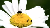 A big fly on the mayweed flower 4K FS700 Odyssey 7Q video