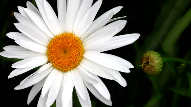 Big garden chamomile flower and bud. video