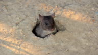 Big gray rat in their burrows video